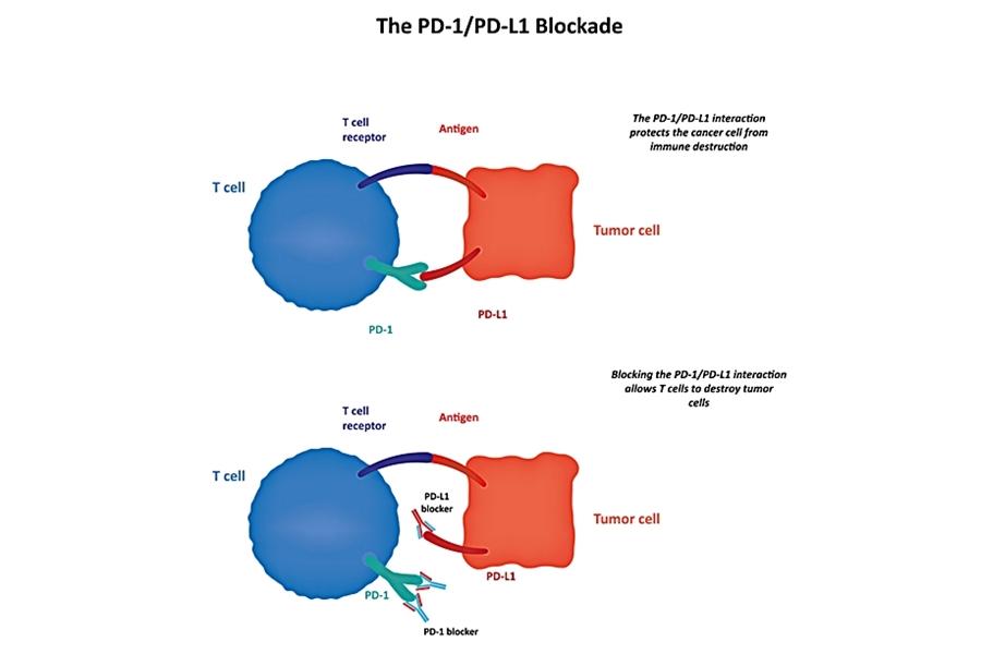 mecanism imunoterapie inhibare PD-1, PD-L1