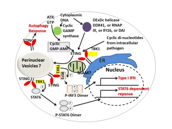 STING-cale-de-semnalizare-diagrama-celula