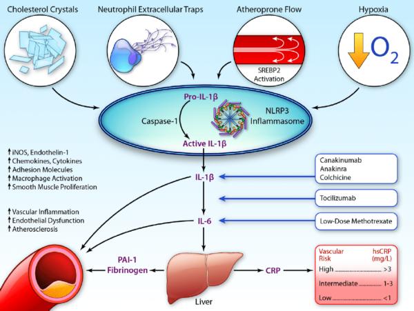 Rolul interleukinelor în procesul inflamator