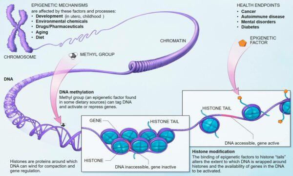 wiki-mecanisme-epigenetice