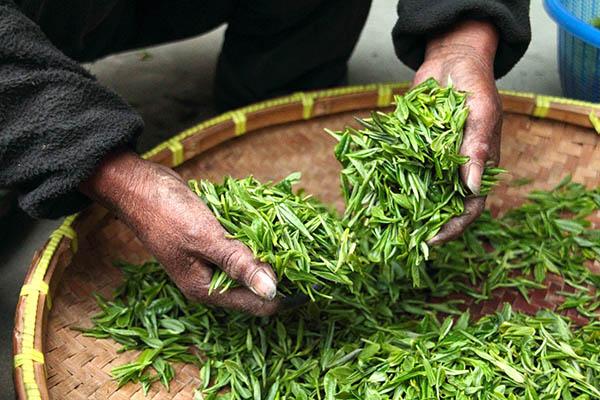 Frunze de ceai proaspăt cules în mâini