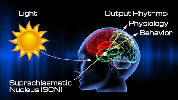 ritm-circadain-nucleu-suprachiazmatic-if