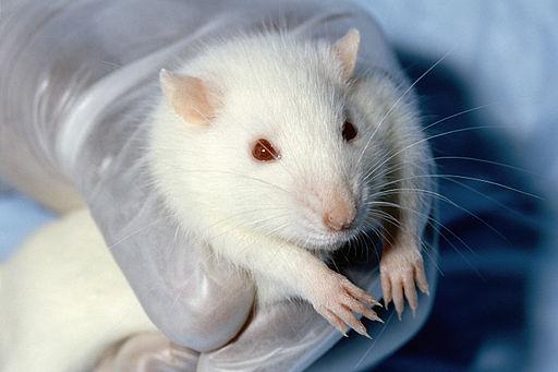 wistar-rat-sobolan-laborator