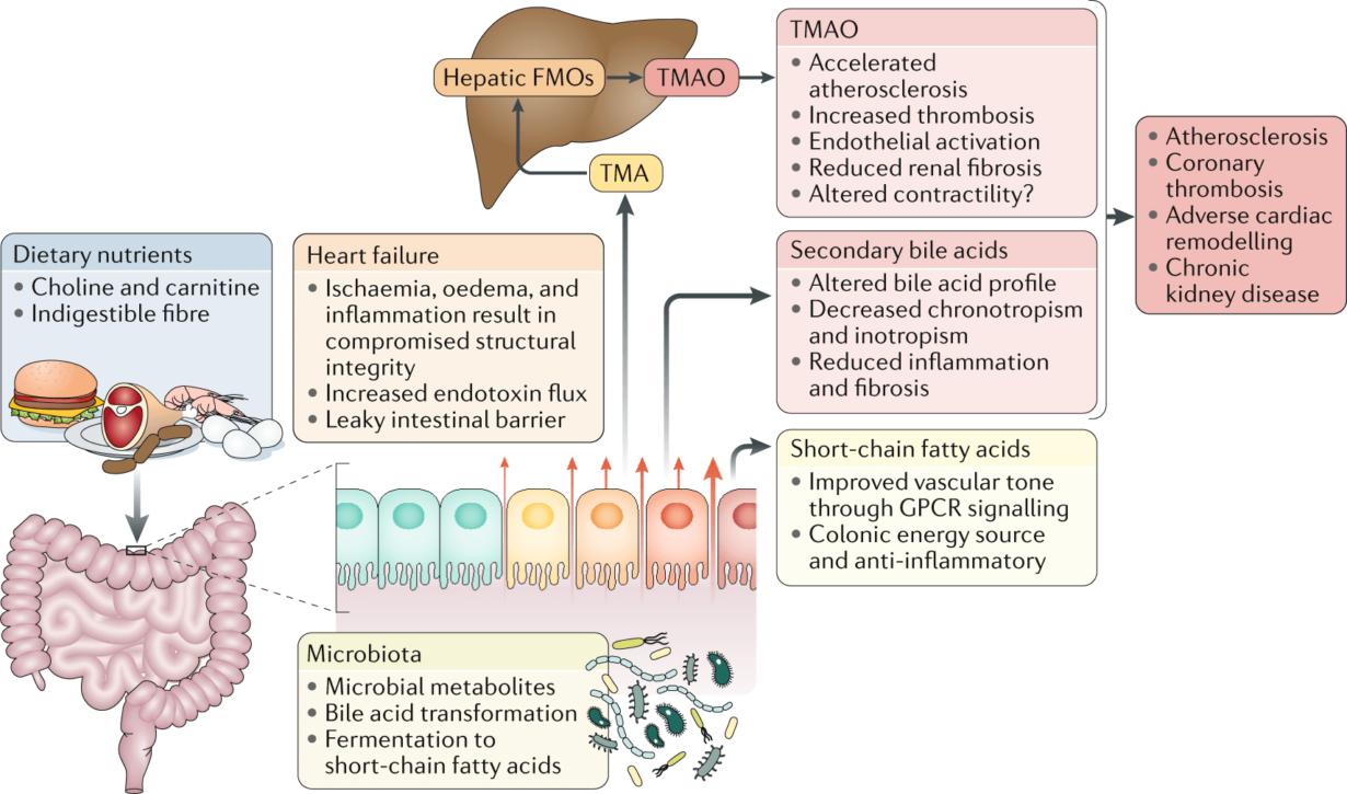 Legătura între dietă, microbiota intestinală și progresia bolii cardiovasculare