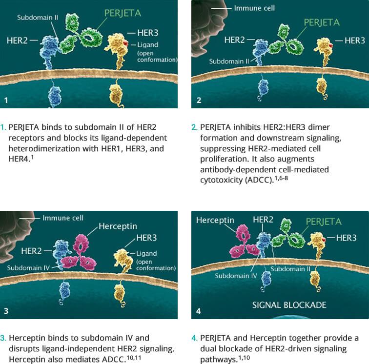 mecanism-actiune-dual-perjeta-herceptin-her-2