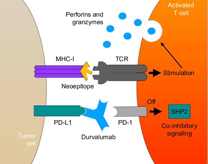 Mecanism actiune durvalumab asco19
