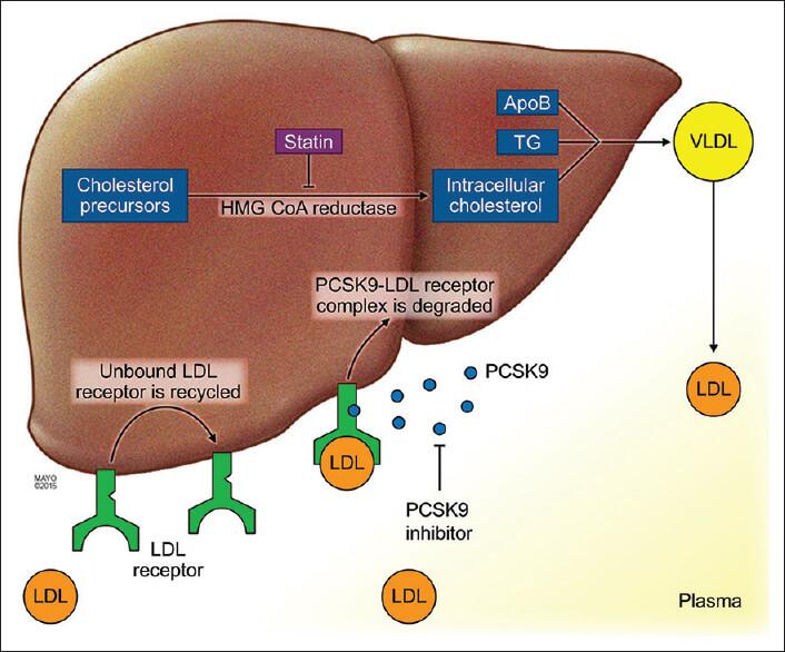 Statinele și HMG CoA Reductaza