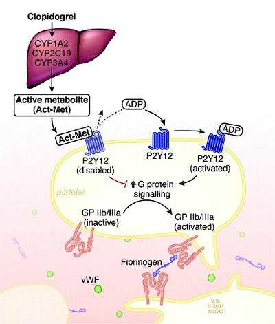 Metabolizarea hepatică a clopidogrelului și transformarea acestuia în forma activă