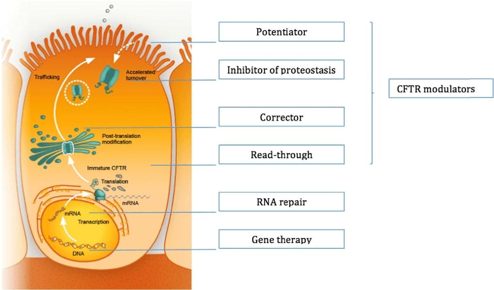 Ținte terapeutice în fibroza chistică