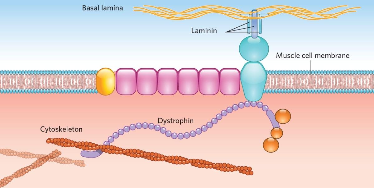 Mecanisme fibra musculara distrofina