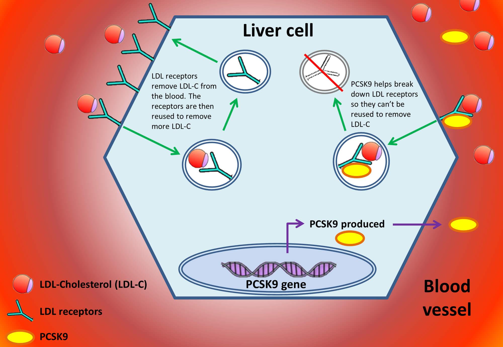 Acțiunea PCSK9 la nivelul hepatocitului