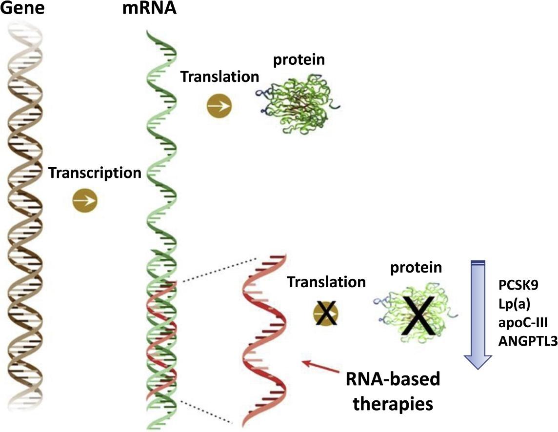 Blocarea translației în cadrul expresiei genice prin oligonucleotide antisens