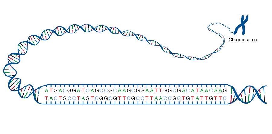 dubla catenă de ADN