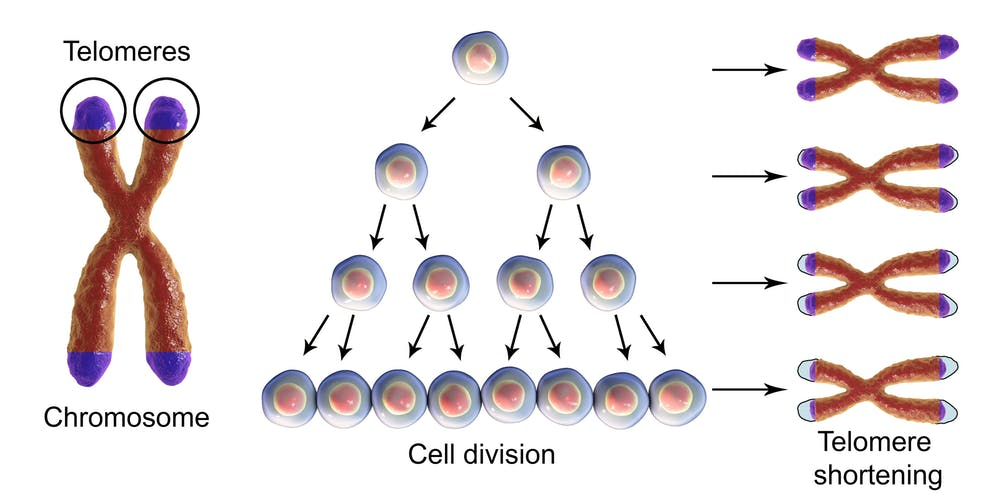 Scurtarea telomerelor în cursul diviziunii celulare
