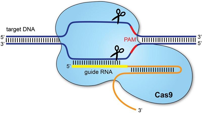 Sistemul CRISPR/Cas9 editare genomică