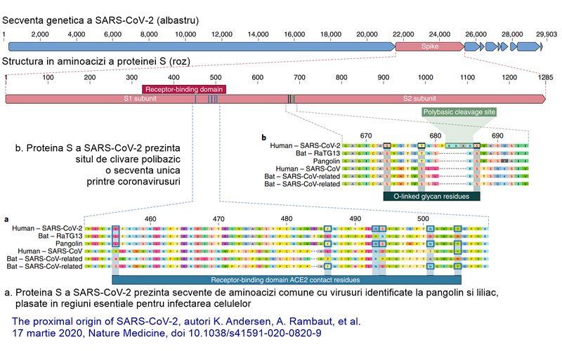 Structura în aminoacizi a proteinei S virale și comparația acesteia cu proteinele omoloage din alte coronaviridae