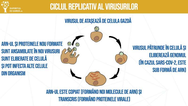 Ciclul replicativ al virusului SARS-CoV-2, în organismul uman