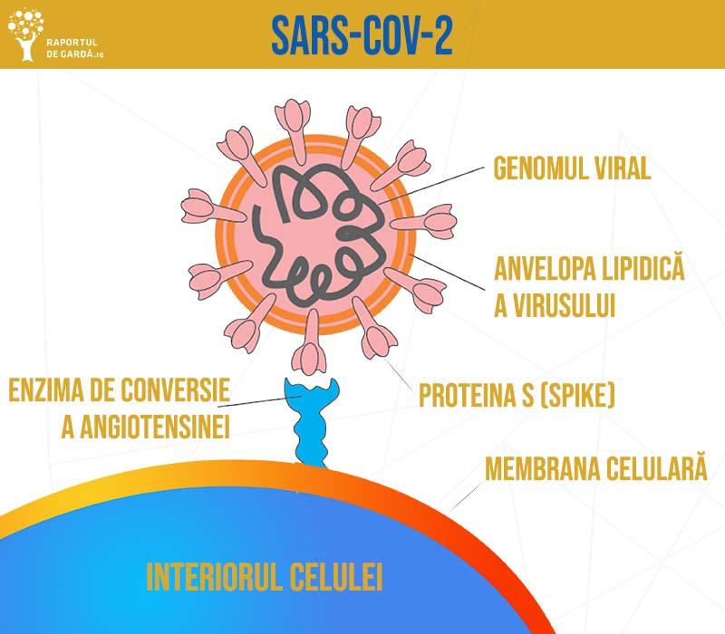 structura virusului SARS-CoV-2 și interacțiunea cu celulele organismului uman, prin intermediul receptorului ACE2