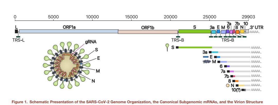 Reprezentarea grafică a ARN-ului subgenomic pentru SARS-CoV-2