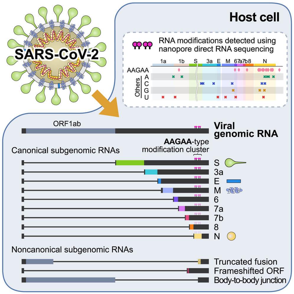Harta subgenomică SARS-CoV-2
