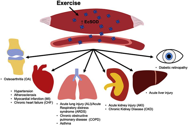 Organe și patologii asociate cu scădere EcSOD.