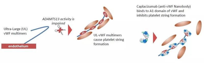 Modul de acțiune al caplacizumab în purpura trombotică trombocitopenică. Sursa foto: CreativeBiolabs