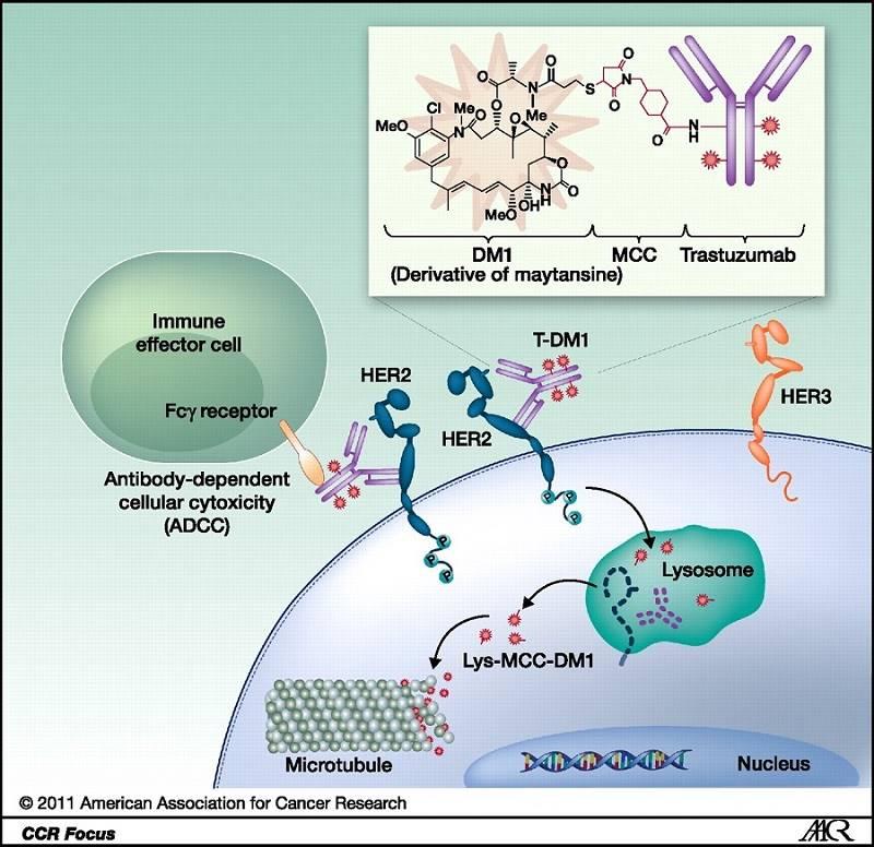 modul de actiune al conjugatelor anticorp-medicament (ADCs) la nivelul celulei tumorale