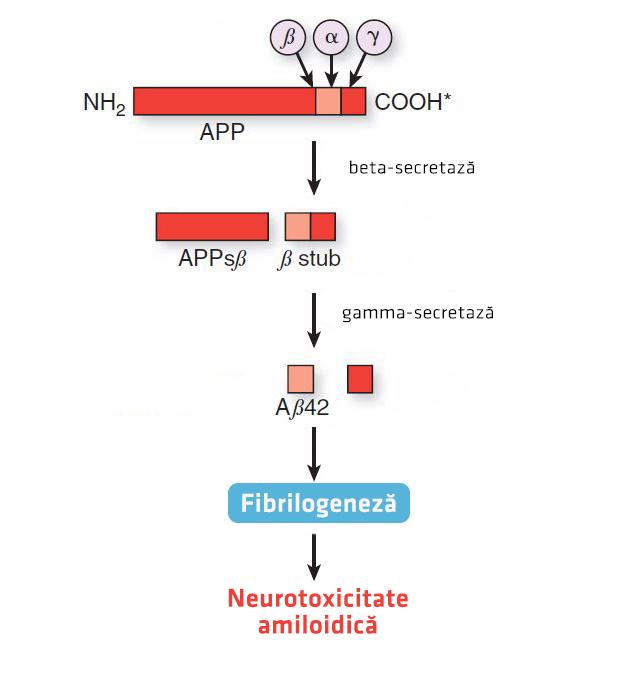 Mecanism de formare a amiloidului boala Alzheimer