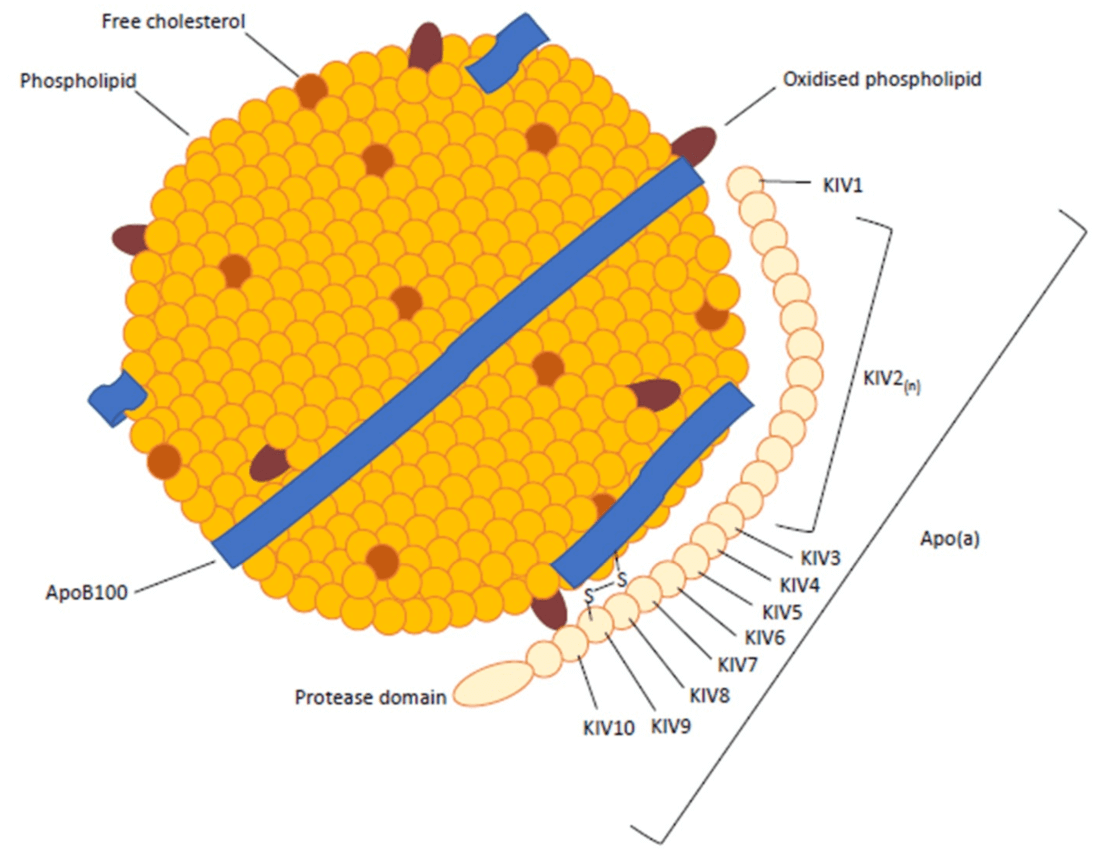 Structura lipoproteinei (a)