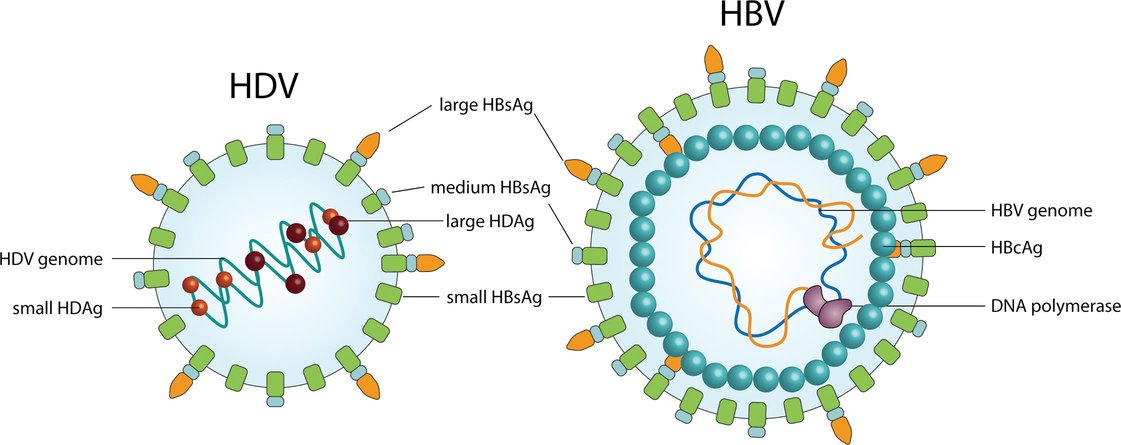 structura virusurilor hepatitice B si D