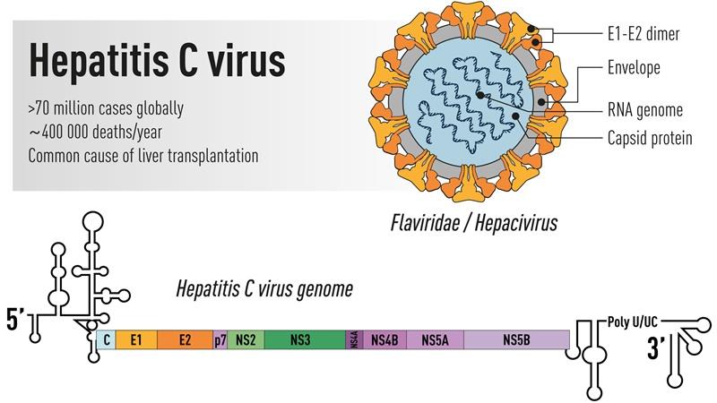 Structura și detalii asupra virusului hepatitic C. Premiul Nobel pentru Medicină sau Fiziologie 2020: Descoperirea virusului hepatitic C
