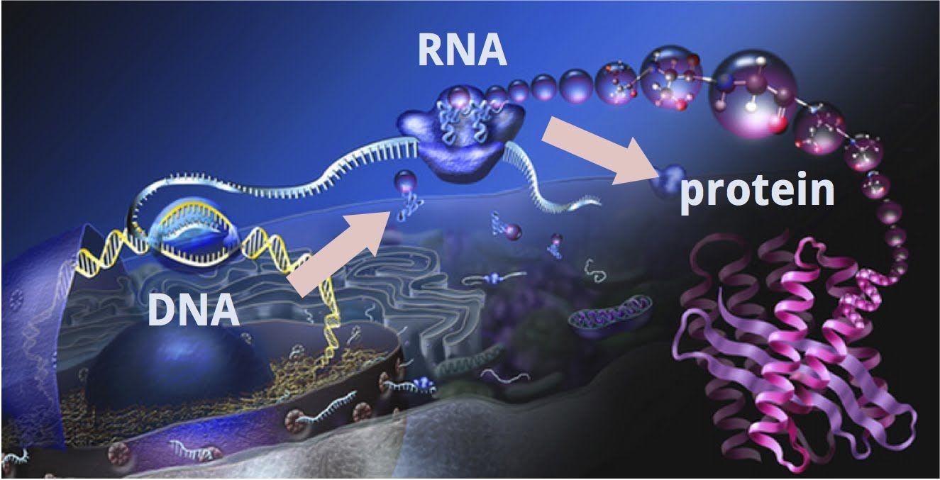 Dogma centrală a geneticii