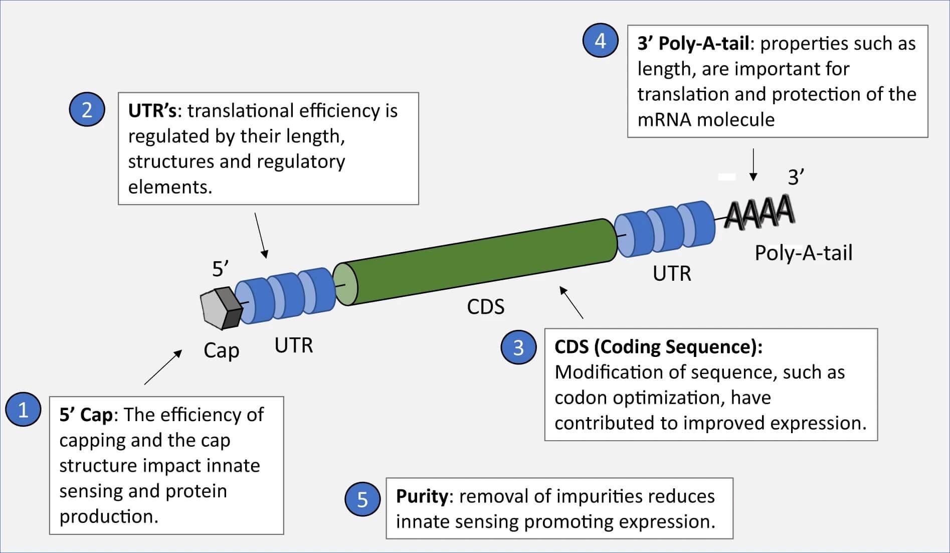 Alterarea ARNm crește eficiența și stabilitatea vaccinului