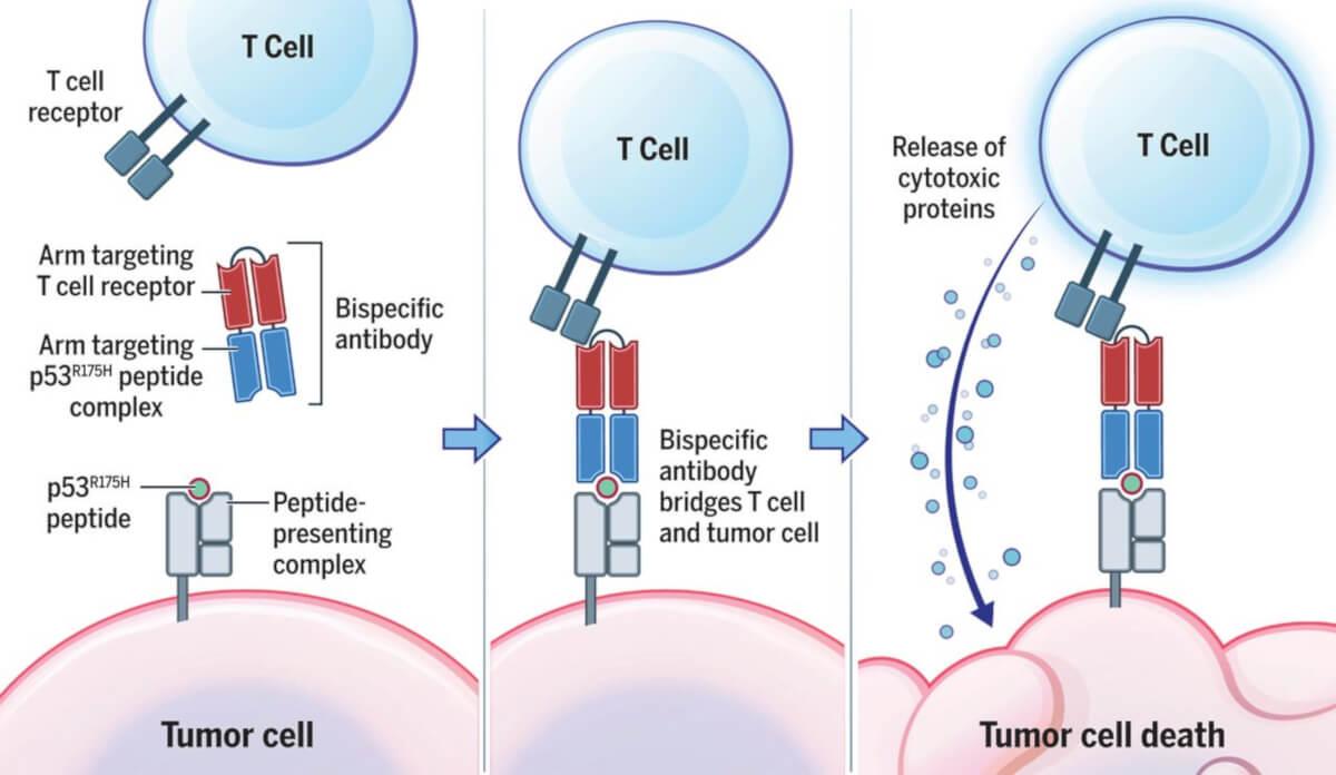 anticorpi bispecifici anti-p53