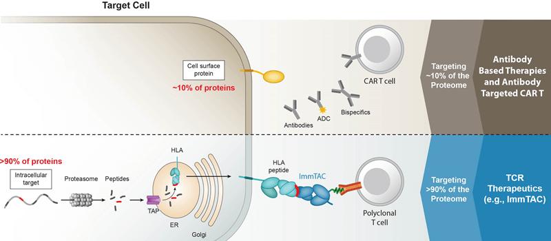 Mecanism de acțiune imunoterapie TCR versus anticorpi monoclonali. Sursa foto Immunocore