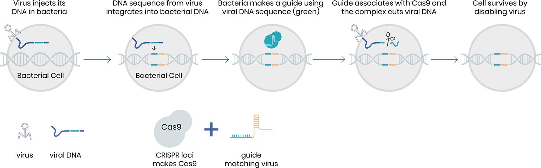 Mecanism CRISPR bacterii